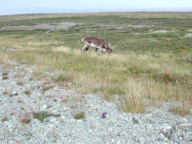 -Vicinity - caribou SSH01-9074